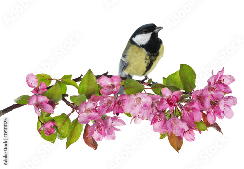 Fridge magnet great tit on apple tree branch with pink flowers