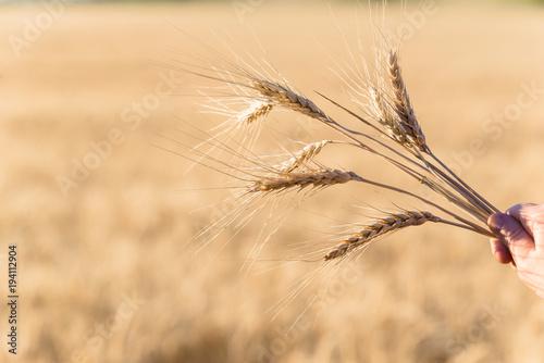 Aluminium Beige Ripe wheat in the field closeup