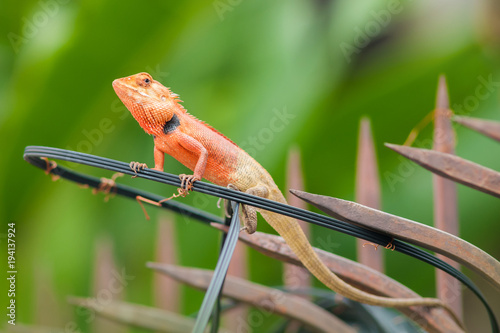 Fotobehang Kameleon Chameleon with Nature blurry background.