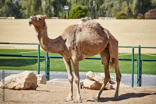 Aluminium Kameel Camel in captivity