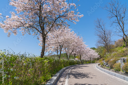 Foto op Canvas Seoel Light pink cherry blossom flowers blooming with blue sky, Sakura flowers in spring season at Naksan park, South Korea on April 12, 2017
