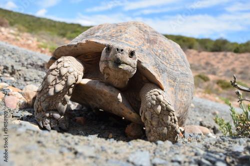 Aluminium Schildpad Afrikanische Schildkröte