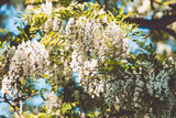 White Blossom Acacia Tree Brunches - 194162727