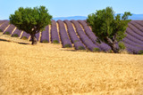 Wheat and lavender fields with olive trees in Valensole in summer. Alpes de Hautes Provence, PACA Region, French Alps, France - 194164731