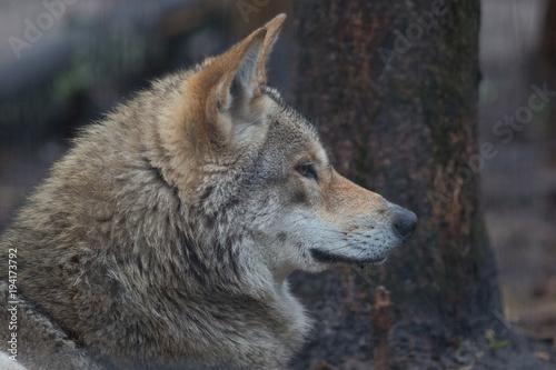 Fotobehang Wolf wolf, animal, wildlife, canis lupus