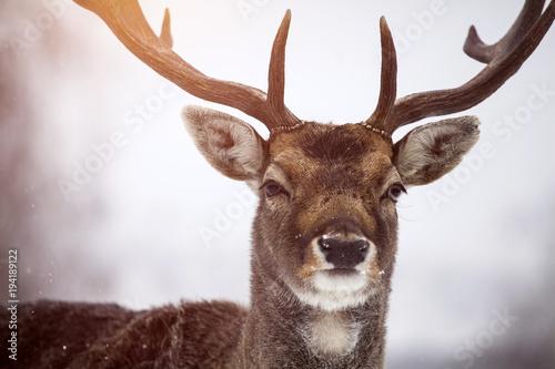 Foto op Canvas Natuur Deer close-up