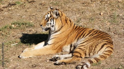 Aluminium Tijger tigre