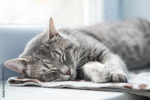 Kot domowy śpi