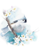 Tufted titmouse small bird sitting on the branch watercolor painting illustration isolated on white background