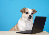 Chubby Chihuahua sitting at a wood table with miniature laptop, light blue background.