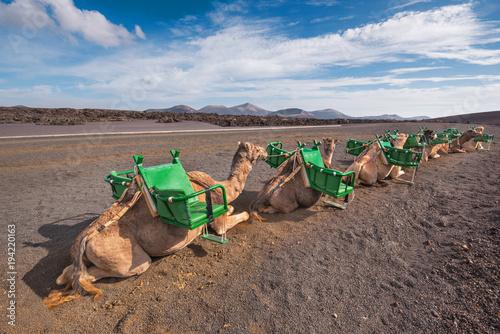Aluminium Kameel Camels resting in volcanic landscape in Timanfaya national park, Lanzarote, Canary islands, Spain.