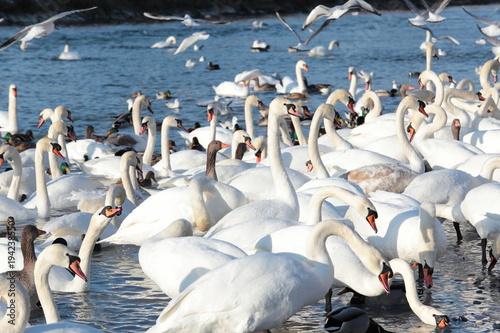 Aluminium Zwaan Schwäne, Gänse und Enten werden gefüttert am Flussufer der Isar im Winter