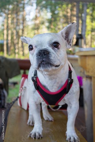 Staande foto Franse bulldog белый бульдог на деревянной скамейке