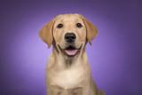 Portrait of a blond labrador retriever on a purple background - 194242549