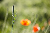 Beautiful blur grass and poppies nature background