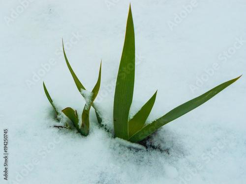 Fotobehang Iris Snow-covered bushes of an iris flower. Nature.