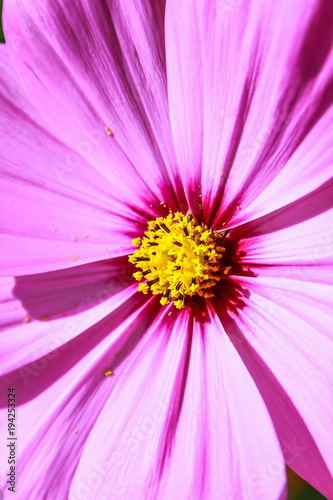 Aluminium Purper Colorful cosmos flower blooming in the field