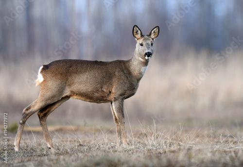 Aluminium Hert Roe deer (Capreolus capreolus)