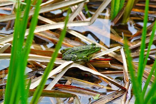 Aluminium Kikker Kröte Frosch auf Schilf im Wasser