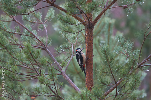 Greater Spotted Woodpecker in Tree Poster