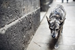 A dog at the Gothic Quarter. Barcelona, Spain