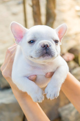 Lady carrying Cute little French bulldog, close-up shot.