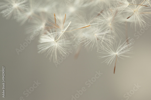Canvas Paardenbloemen Flying parachutes from dandelion