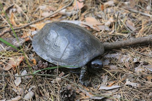 Aluminium Schildpad Steppe Central Asian turtle