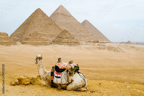 Aluminium Kameel Camel sitting in front of the pyramids at Giza, Egypt