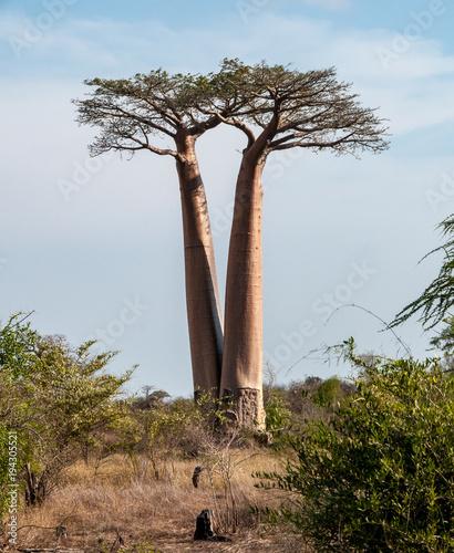 Fotobehang Baobab Baobab gemelli nei pressi di Morondava