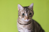 portrait of a young beautiful cat isolated on green background. He has brown and black fur and green eyes. Home, indoors. Lifestyle - 194308156