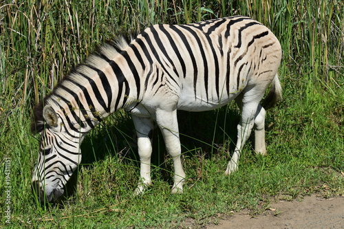 Fototapeta This Grazing Zebra Is Busy Losing It's Stripes