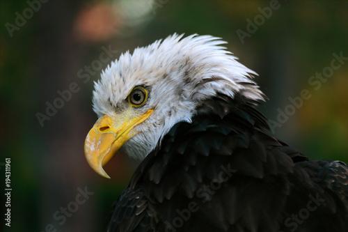 Aluminium Eagle aquila pescatrice