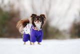 brown chihuahua dog posing outdoors in clothes - 194322344