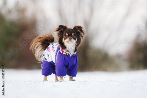 brown chihuahua dog posing outdoors in clothes