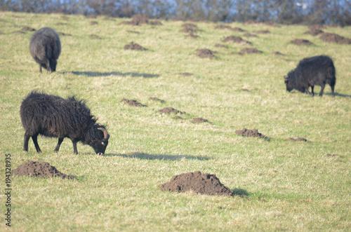Fotobehang Bison Black sheep