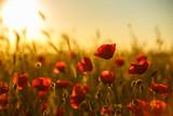 poppies at sunset, poppy field