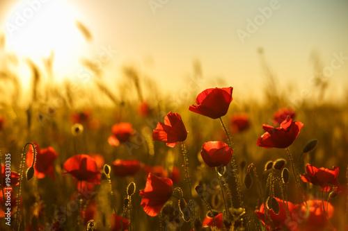 Fotobehang Klaprozen poppies at sunset, poppy field
