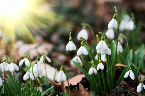 white snowdrop flowers in spring