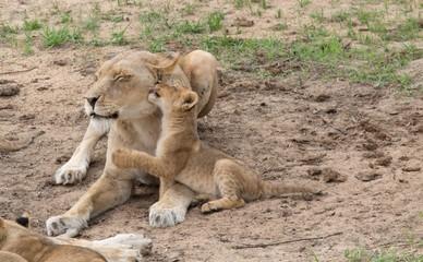 Südafrika Babylöwen