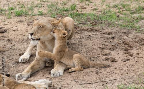 Fotobehang Lion Südafrika Babylöwen