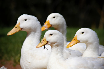 Profile of a flock of ducks