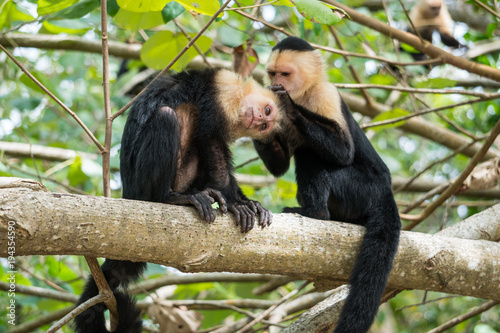 Dwie małpy w dżungli Kostaryki