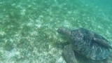 Large Green Sea Turtle Swimming Underwater at Beautiful Island Of Maldives in Indian Ocean  - 194355111