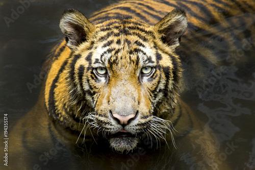 Aluminium Tijger Tiger. Beautiful Tiger Portrait. Tiger in the wild