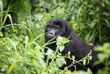 Baby mountain gorilla in rich vegetation in the Bwindi Impenetrable National Park in Uganda - 194358957