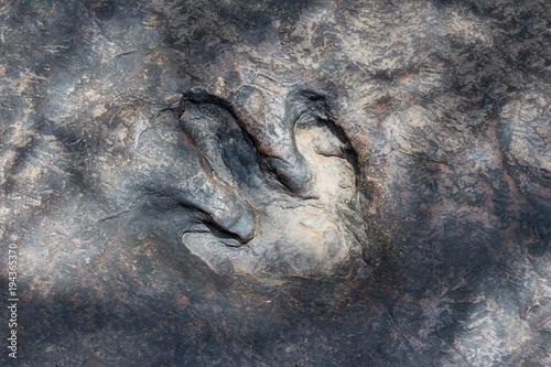 Fototapeta Real dinosaur footprint , Thailand.