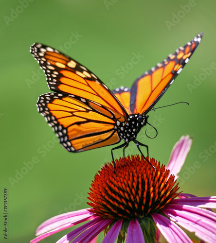 beautiful orange monarch butterfly on a cone flower sipping nectar and spreading pollen on a warm summer day - 194367389