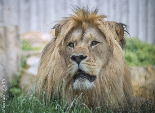 Fotobehang Lion Löwe Porträt