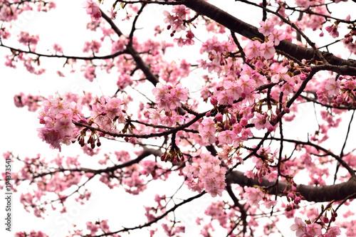 Papiers peints Rose clair / pale 早咲きの河津桜 ピンクの花 白背景